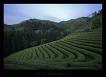 20100515 전라남도 보성 대한다원, 전라북도 고창 청보리밭 축제