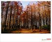 Metasequoia forest in the Mizumoto Park