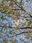 벚꽃 엔딩, 벚꽃 이제 안녕... 내년에 또 만나자.