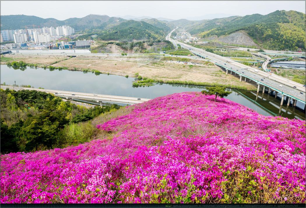 대구 와룡산의 영산홍 군락지