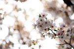 흔하디 흔한 벚꽃