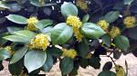 호랑가시나무꽃