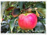 사과 잎제거 / 홍로 / 사과농사