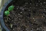 감나무 새싹이 나왔어