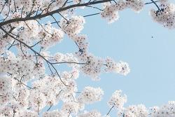 봄날, 진해 꽃구경