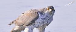 참매 살얼음판위에 리얼 야생의 사냥꾼 참매 Northern Goshawk