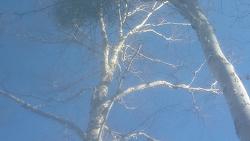 자작나무 겨우살이