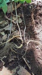 산삼 사진 및 산원초 기록 정보 001