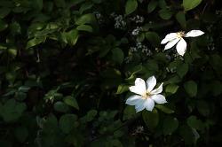 큰꽃으아리 150509