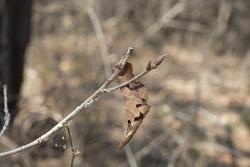 황세줄나비 애벌레