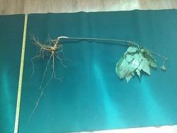 대물 산삼들의 기록 사진 (산원초)