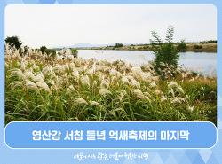 영산강 서창 들녘 억새축제의 마지막