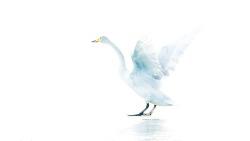 Whooper Swan 한강 큰고니의 기상 스트레칭^^