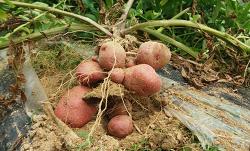 감자효능과 자색감자 수확