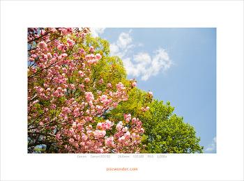 [5D] 겹벚꽃