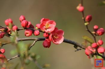 2014년 봄소식 3, 예쁜 산당화(명자나무)