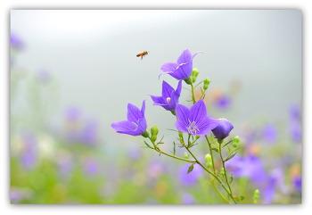 도라지꽃 7ㅡ19