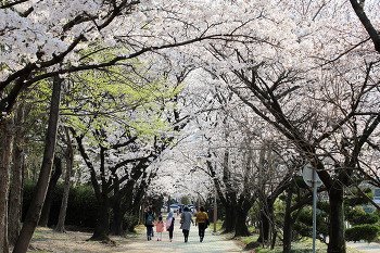 진해군항제 만큼이나 아름다운 창원의 벚꽃 명소에서 즐기는 여유로운 벚꽃놀이! (창원벚꽃명소)