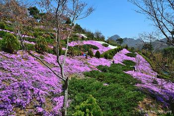 [진안여행] 상쾌한 산책길에서 만나는 꽃잔디의 향연, 진안 꽃잔디마을