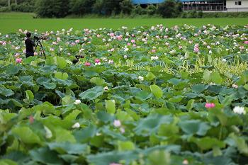 연꽃 향기 가득한 주남저수지 연꽃단지!(창원명소/창원여행)