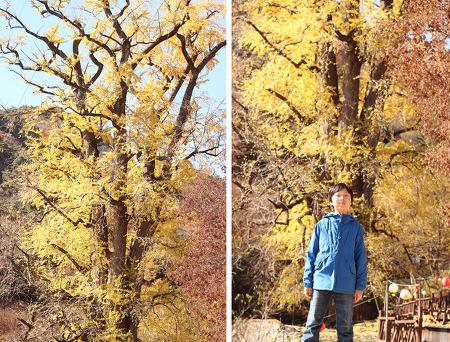 용문사의 은행나무
