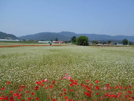 춘천 북한강변에 활짝 핀 하얀 메밀꽃