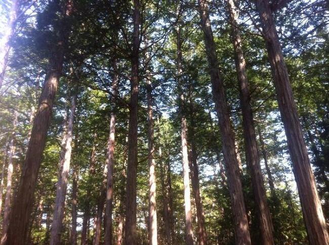 숲길의 지존, 아카사와 히노키(편백나무) 자연휴양림