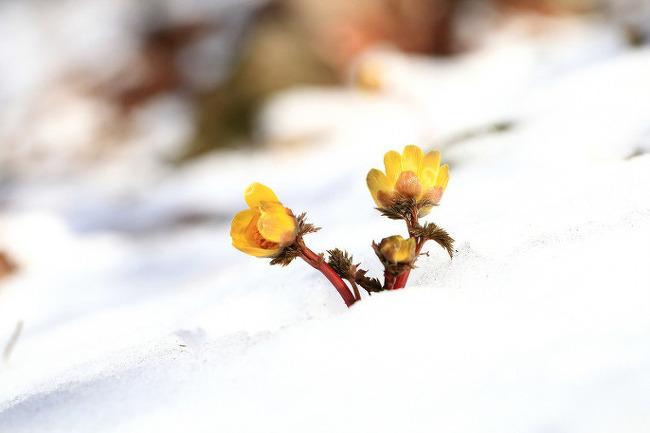 눈(雪) 속에 피는 꽃