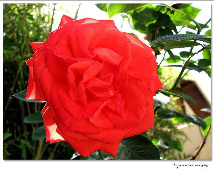 빨간색 장미꽃