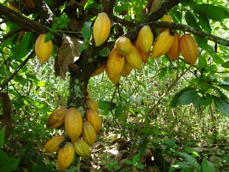 cacao production guide in the philippines pdf