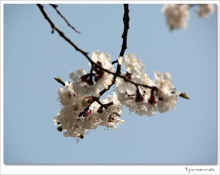 살구꽃 사진