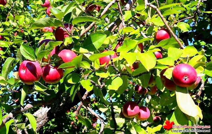 매킨토시 사과 최초 발명은 캐나다입니다