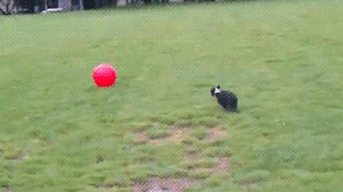 공이 너무 큰 강아지 1