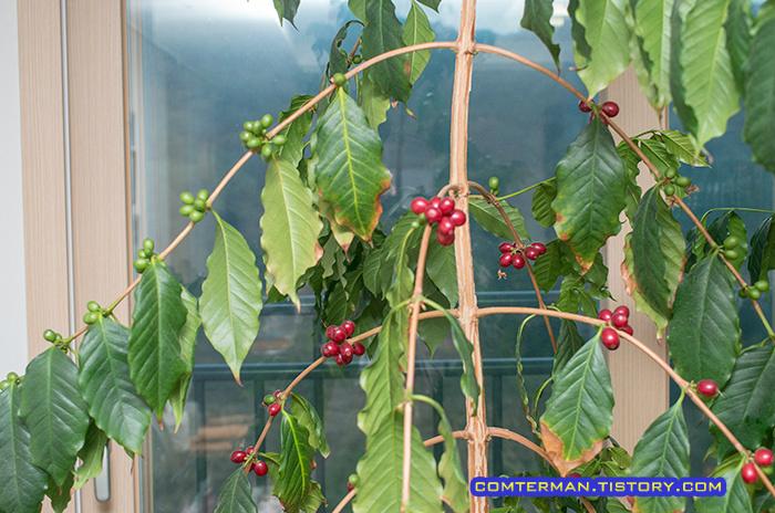 베란다 커피나무 수확