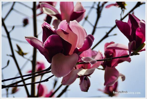 자목련(紫木蓮)