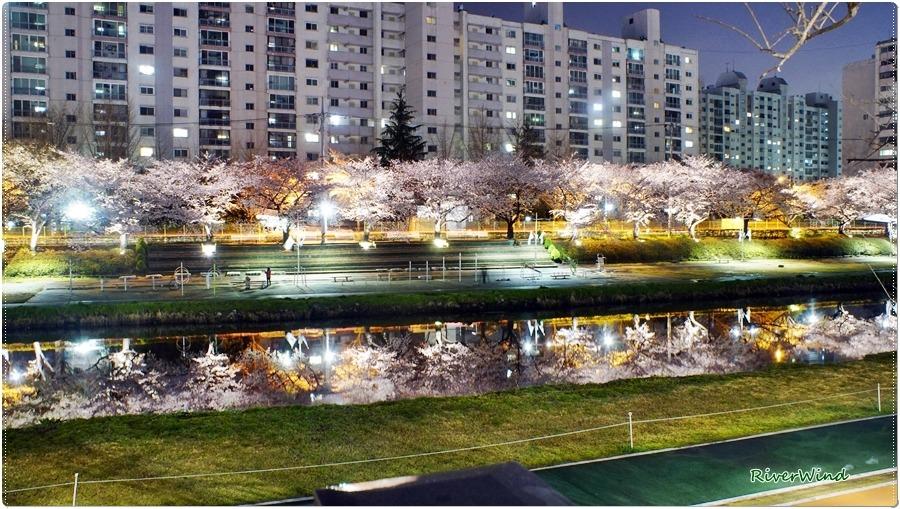 벚꽃핀 온천천의 야경