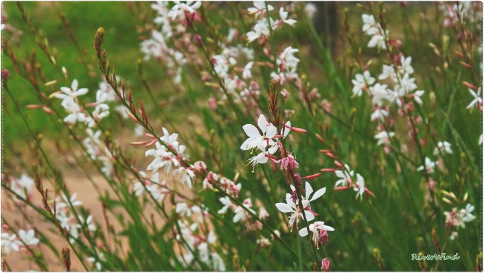 가우라,Gaura,백접초(白蝶草),홍접초(紅蝶草),나비바늘꽃,Oenothera lindheimeri,바늘꽃