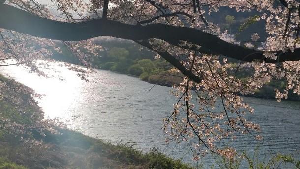쌍계사 벚꽃