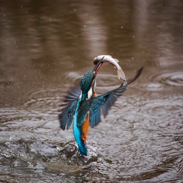 Free Stock Photo JPG file Kingfisher fishing moment Stock Photo