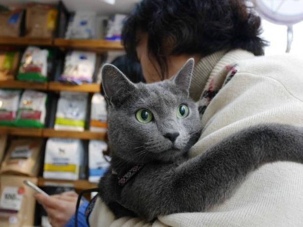 러시안블루 고양이