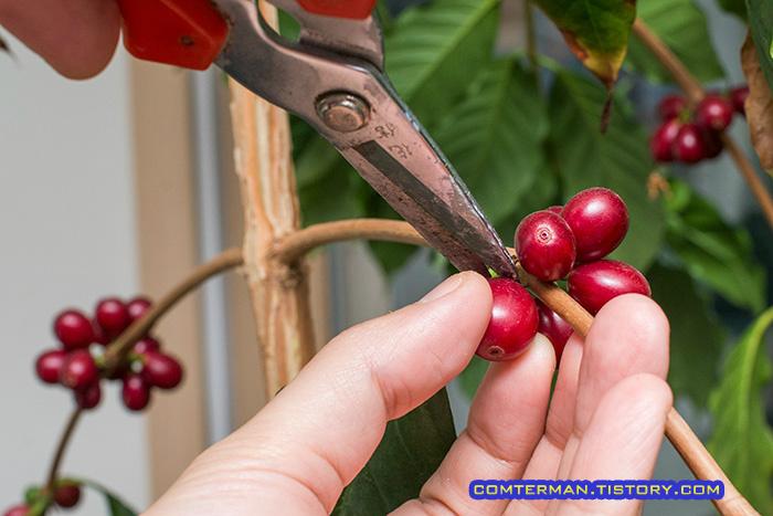 커피열매 수확