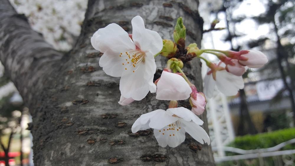[잠실 여행]석촌호수 벚꽃축제