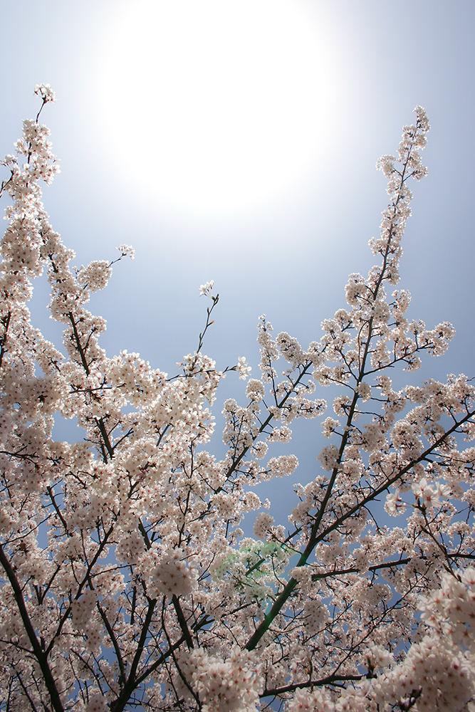 둥근해가 배경으로 떠 있고 그 아래 벗꽃들이 피어있다. 촬영자의 키보다 높은곳에 있는 벗꽃을 올려다보며 촬영한 사진