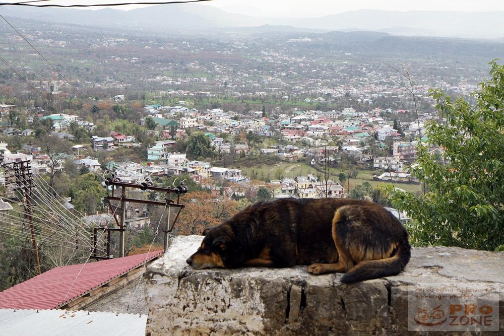 [인도] 다람살라 맥그로드간즈의 개들 - 맥간 동네 도처를 활보하고 다니거나 요가 수행자처럼 낮잠 자거나