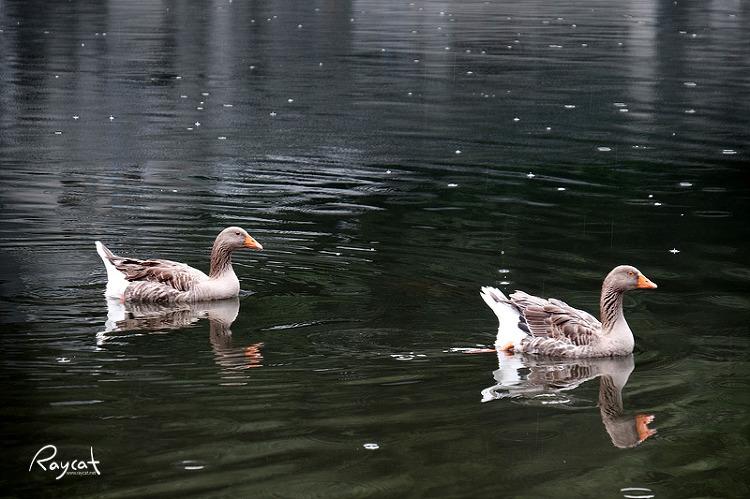 유후인 기린코 호수의 오리