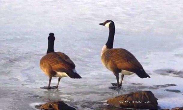 보스턴 기러기 Wild goose,Visitor bird,Resident bird,Boston Wild goose