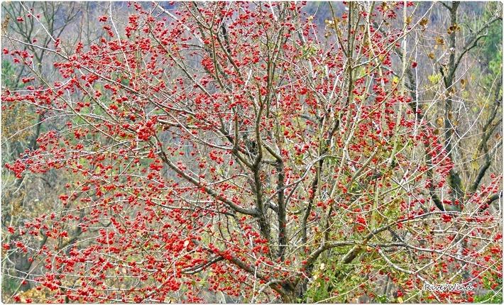산사(아가위)나무