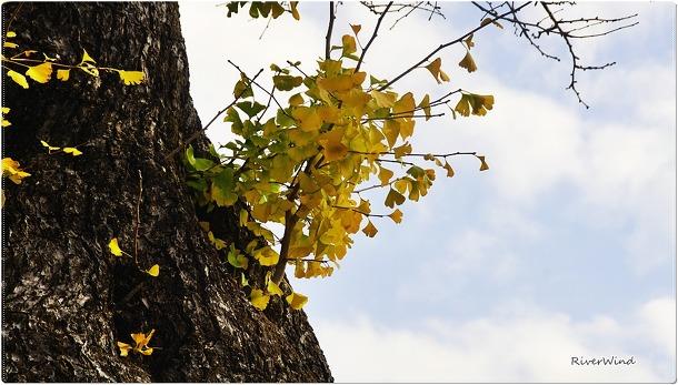 보호수 부산 청룡동 범어사 은행나무