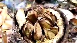 브라질너트 껍질