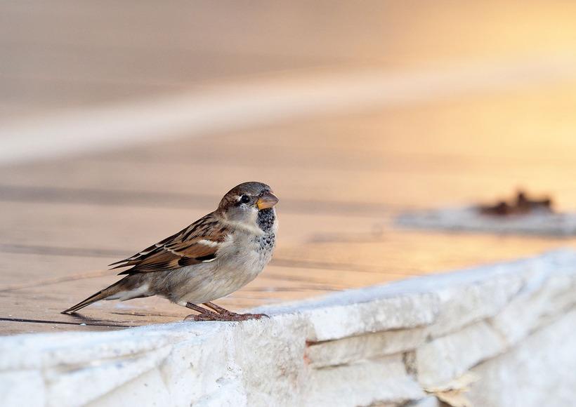 집참새( House sparrow)